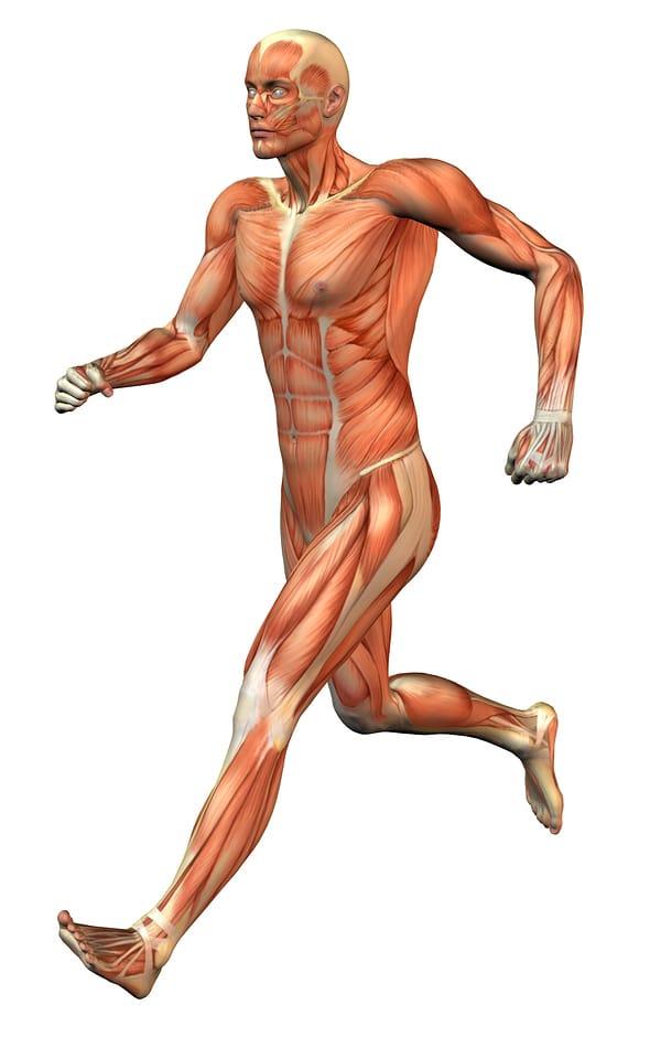 Músculos largos