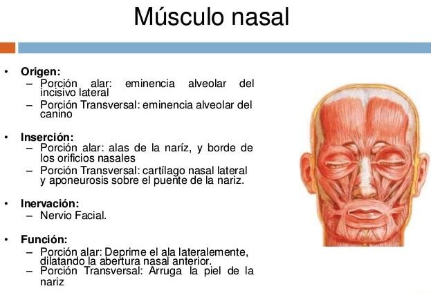 músculos de la nariz