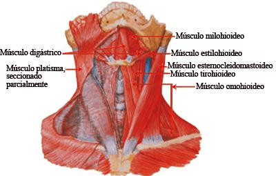 músculos infrahioideos y suprahioideos