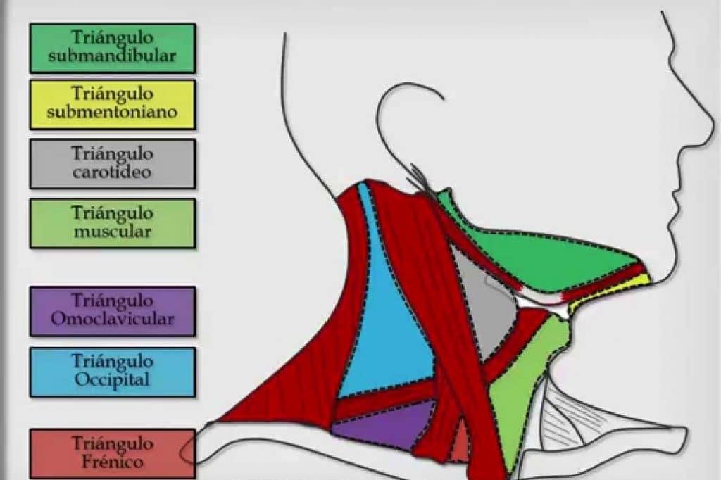triángulo del cuello