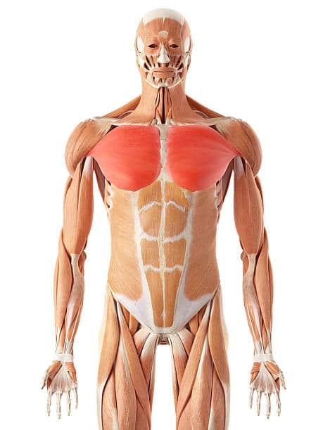 Músculos pectorales