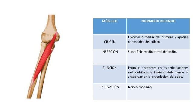 Músculos supinadores-1