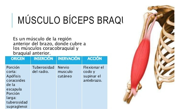 Músculos braquiales-2
