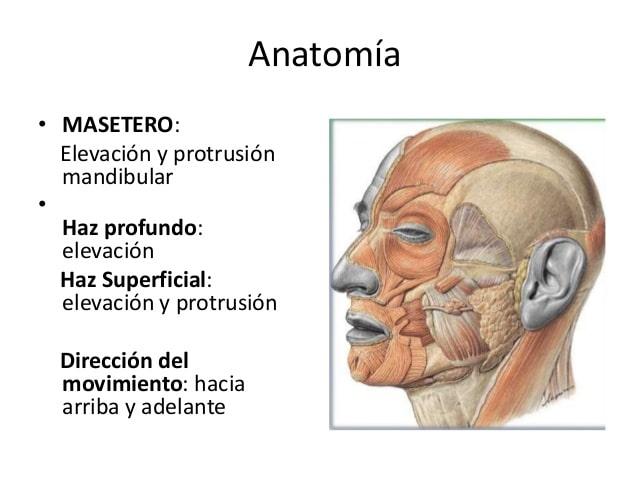 Músculo masetero-1