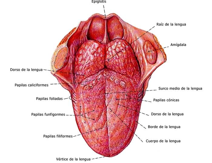 Músculos de la lengua