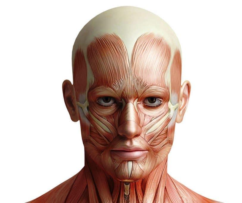 músculos de la cabeza