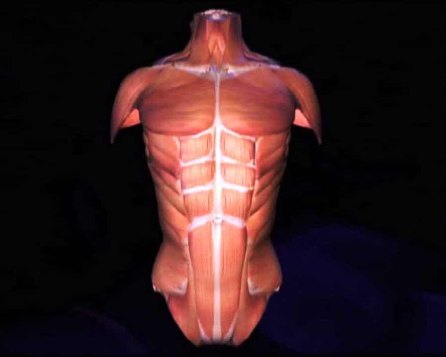 Músculos del Tórax: Anatomía, Funciones, Origen, Inserción y más