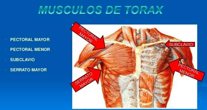 músculos del tórax