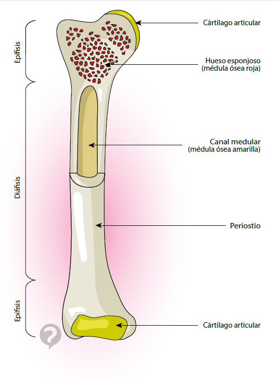 médula ósea amarilla