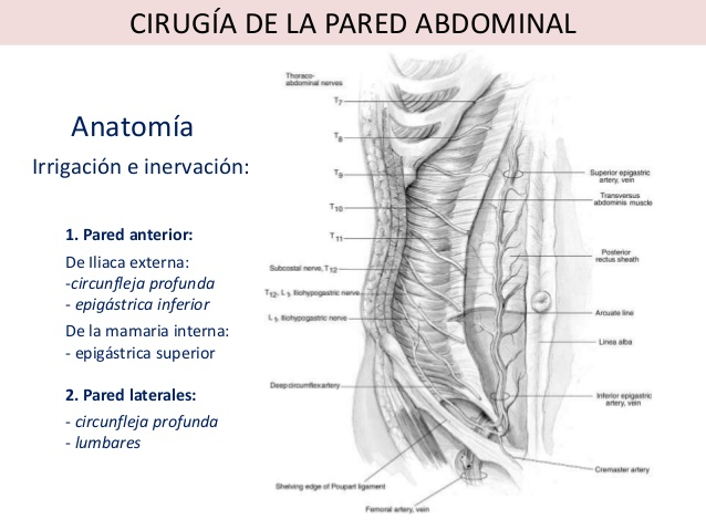 músculos del abdomen