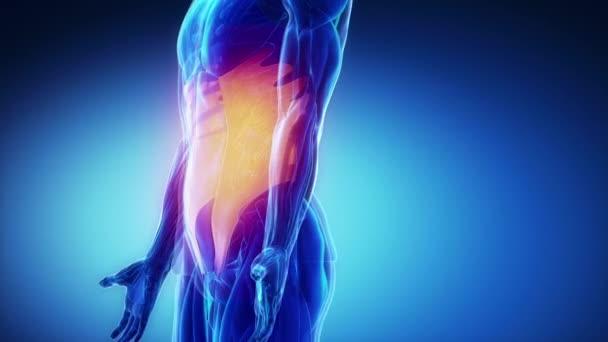 músculos del abdómen