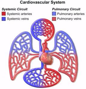 sistema cardiovascular simple