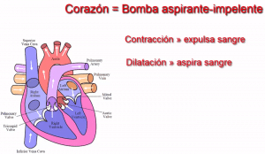corazón en el sistema circulatorio