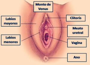 Partes Externas del Sistema Reproductor Femenino