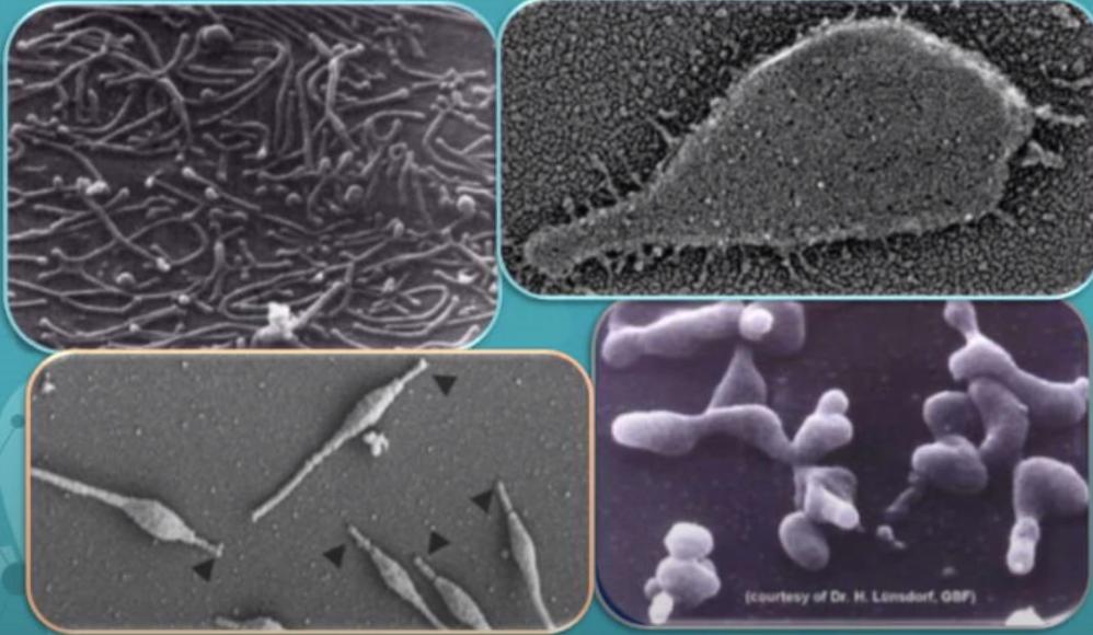 Pleomórficos de Mycoplasma Genitalium